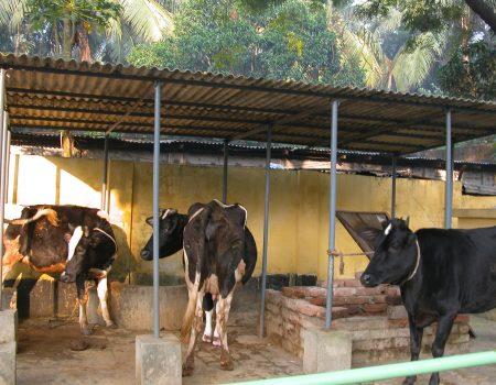 Le mucche per il latte dei degenti